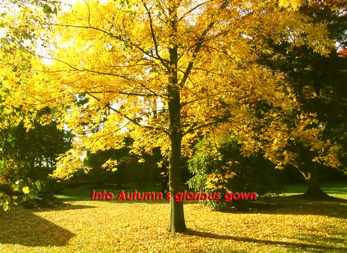 Into Autumn's glorious gown written on a tree in full blaze of Autumn's golden spendor with the sunshine highlighting the equally bright leaves on the forest floor