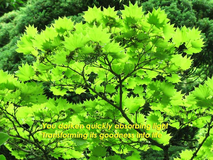 You darken quickly absorbing light transforming it's goodness into life on the leaves of a backlit Ginko Biloba tree