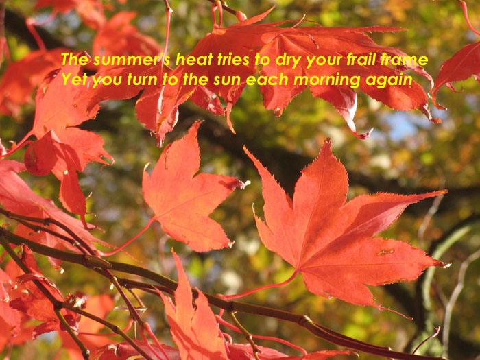 The summer's heat tries to dry your frail frame  yet you turn to the son each morning again on the photo of leaves turning to face the morning sun.