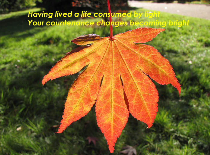 Having lived a life consumed by light your countenance changes becoming bright on the photo of an Acer Palmatum leaf changing to it's bright Autumn colour