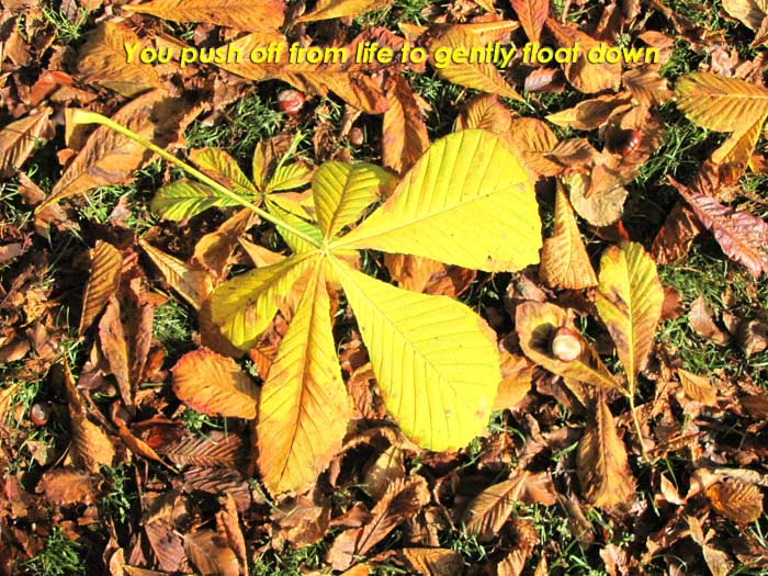 You push off from life to gently float down on the photo of a bright yellow  Horse Chestnut leaf falling into others already on the ground