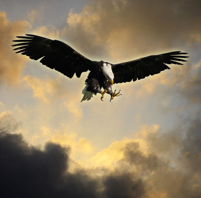 A bald eagle claws outstretched dives through a stormy sky.