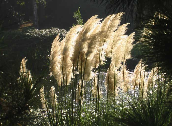 A backlight group of pampas grass silhouetted against water seen through pine branches.