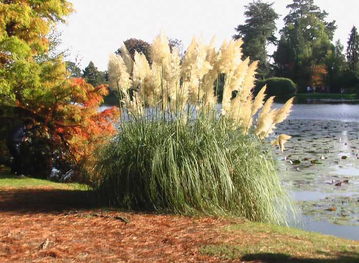 The same group of pampas grass this time photographed from a different angle with a stalely lake in the background.