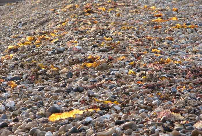 Photo of a pebble beach with back lit seaweed which the lighting has turned to gold